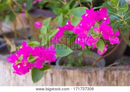 Pink Bougainvillea flower , beauty in nature