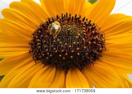 A black and yellow stiped bee scurrying on a beautiful sunflower