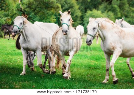 Three white horses playing in the wild on the gree grass in Lipice, Slovenia.