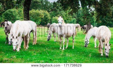 Herd of white horses in the wild with one horse staring straigh.