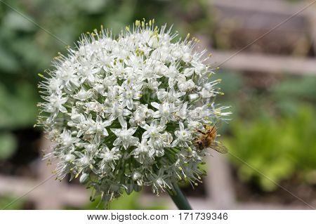 A bee on a green onion blosson in a raised bed garden collecting pollen
