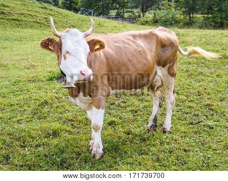 Cow grazing on an alpine pasture in Switzerland mountains with bell