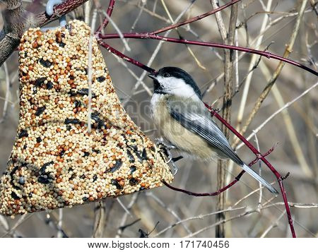 Black-capped chickadee and feeding troug in Humber Bay Park on a shore of the Lake Ontario in Toronto Canada February 16 2017