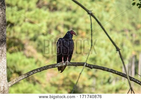 One red vulture in Virginia perched on a tree branch