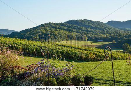 Autumn vineyard hills in Virginia with yellow trees