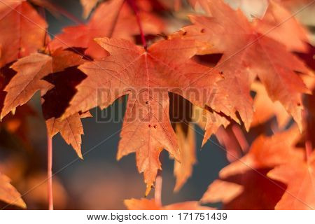 Red maple leaves photographed in Maple Grove Minnesota.