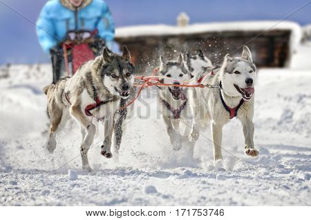 Atmospheric photo of beautiful sled dogs pulling their musher. The background shows a block house in a landscape covered in deep snow.