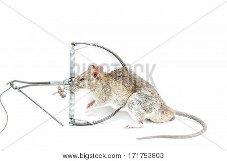 Mouse in a mousetrap it is isolated on a white background