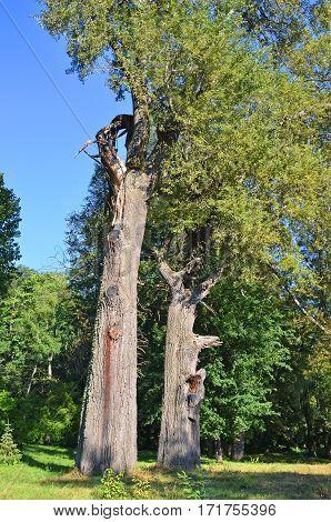 Old poplar tree in green park under blue sky