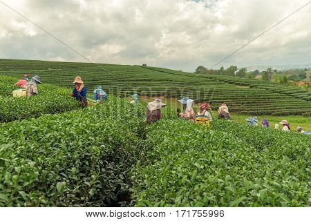 CHIANG RAI THAILAND - DEC 8: Women from Thailand breaks tea leaves on tea plantation on December 8 2015 on a tea plantation at Chui Fong Chiang Rai Thailand.