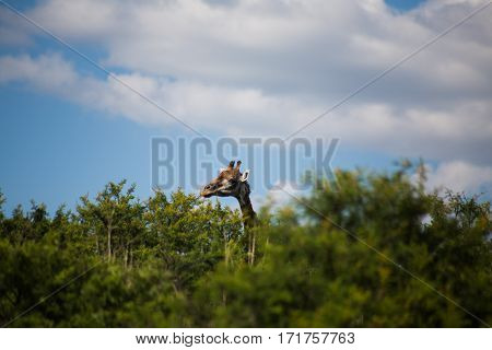 Giraffe peeping out over the thorn trees at a game reserve in South Africa