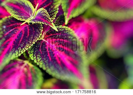 Close up of Coleus leaves (Painted nettleFlame nettle )