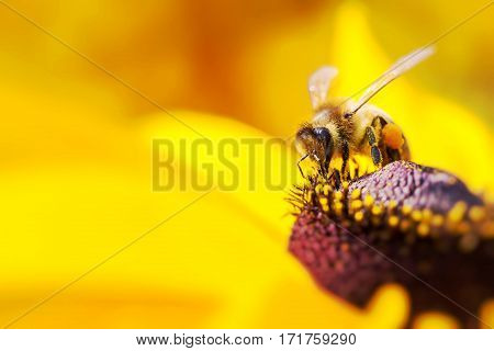 Close-up Photo Of A Western Honey Bee Gathering Nectar And Spreading Pollen On A Young Autumn Sun Co