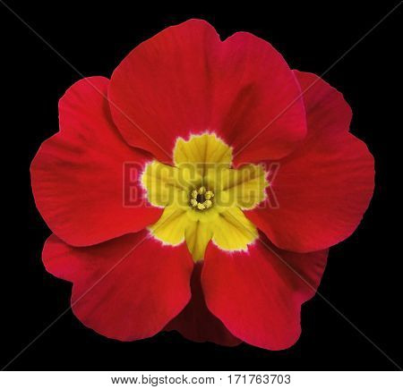 red violets flower black isolated background with clipping path. Closeup. no shadows. For design. Nature.