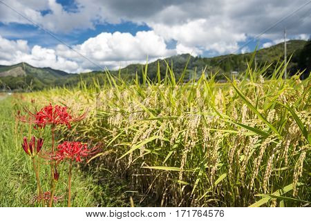 Close up rice field beside red spider lily flower under sky