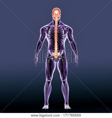 The axial skeleton is formed by the vertebral column, the rib cage and the skull.