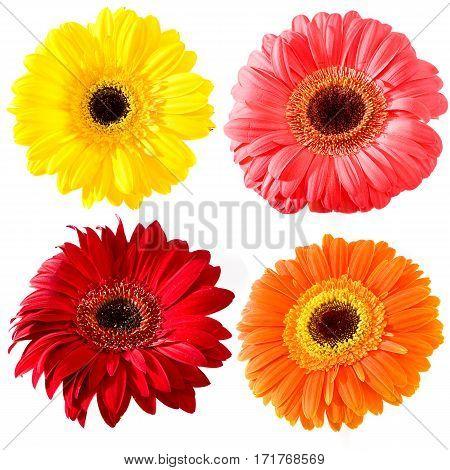 Collection for the designer. Colour flowers gerbera