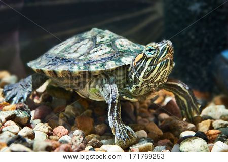 The small red-eared turtle in the aquarium