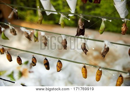 butterfly pupa hanging on a thread at the zoo