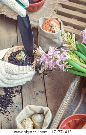 Woman Hands Planting Hyacinth