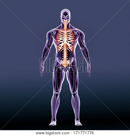 The axial skeleton is the portion of the human skeleton that consists of the bones of the head and trunk of an organism.