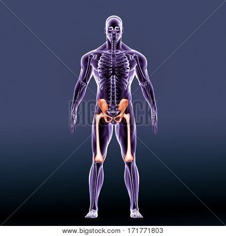 3d illustration Anatomy of the hip. Human femur and pelvis