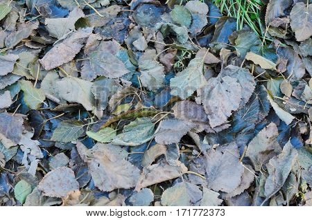 Background texture of brown decaying autumn leaves