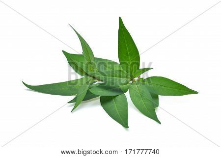 fresh vietnamese mint leaves isolated on white background