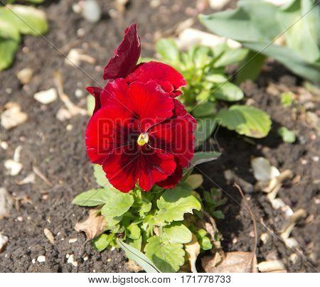 Pansy, or Viola tricolor (Viola tricolor) flower bed