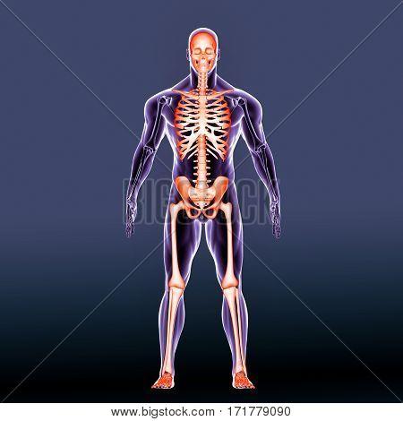 3d rendered anatomy illustration of a human skeleton-front side