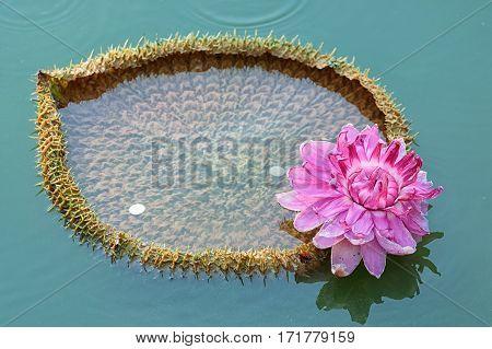 Victoria Amazonica , Giant Amazonian Waterlily Latin