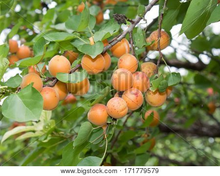 Yellow ripe apricots on the branch. Background of apricots and green leaves