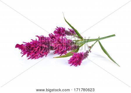 Wool flowerCelosia Argentea L. var cristata (L.) Kuntze isolated on white background