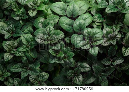 Oregano (origanum) Background