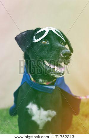 Black Dog Wear Superhero Costume with Mask