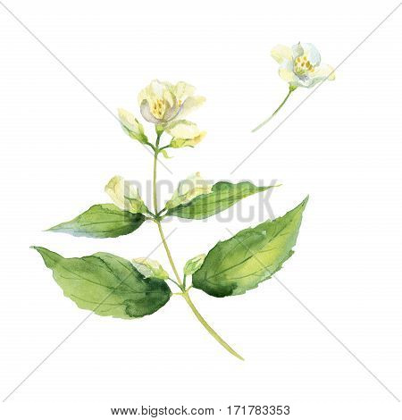 Fragrant and fresh jasmine branch. Watercolor illustration. Isolated on white background.