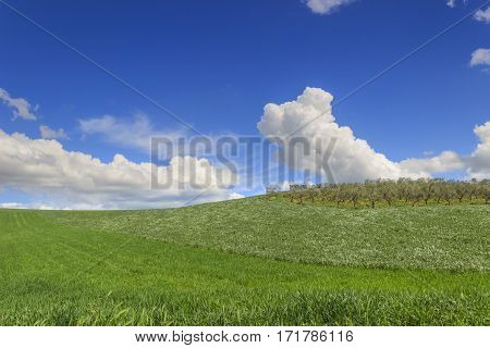 Springtime.Between Apulia and Basilicata: hilly landscape with green cornfields.ITALY. Ears of immature corn in the wind. Spring countryside with immature cultivations and olive trees.