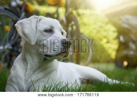 young labrador retriever dog puppy on a meadow
