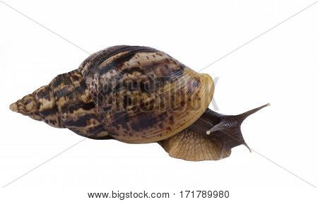 Big African snail Achatina has a brown shell