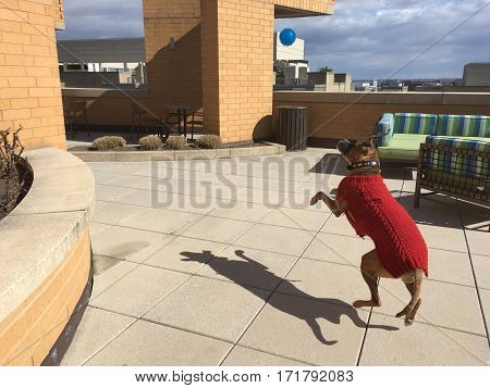 Boxer Dog Plays Fetch - Side View