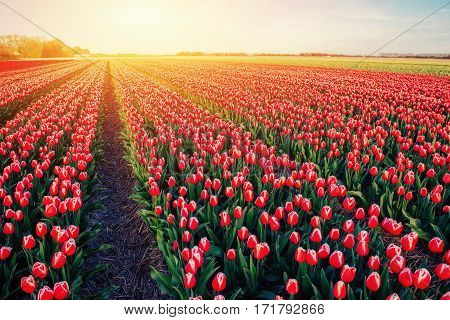 Beautiful field of red tulips in the Netherlands. Fantastic spring sunset. Holland