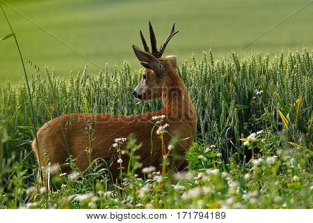 Roe with unusual antlers standing in wheat with a look back