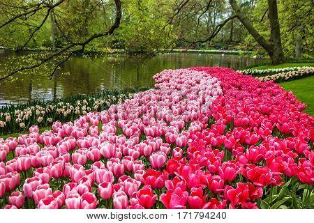 park lake, tulips and swans near in Keukenhof, Holland