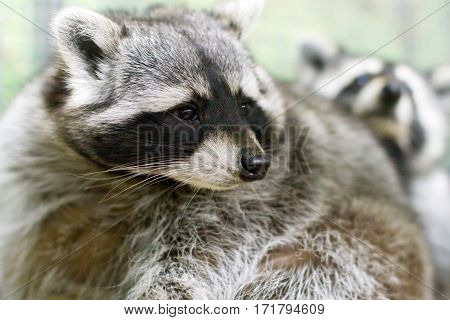 image of a beautiful mammal furry pet raccoon in a cage