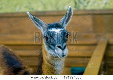 image of a beautiful mammal herbivore lama in the aviary