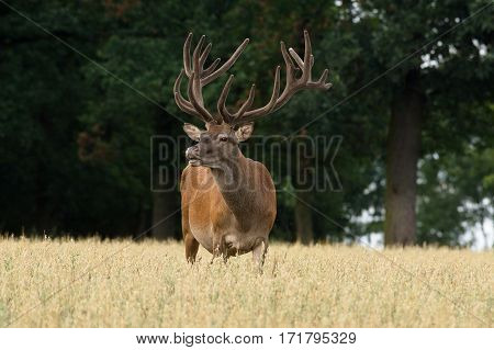 A deer with antlers in Lycia stands in a field of oats