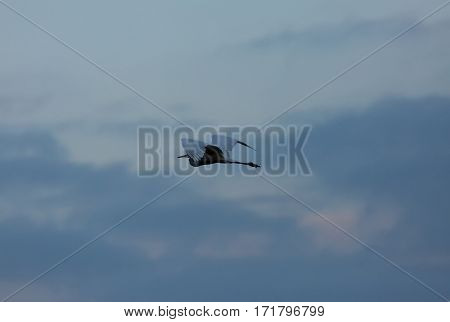 Great Egret (Casmerodius albus) in flight against the sky fog and clouds in autumn morning on the lake in Poland. horizontal view