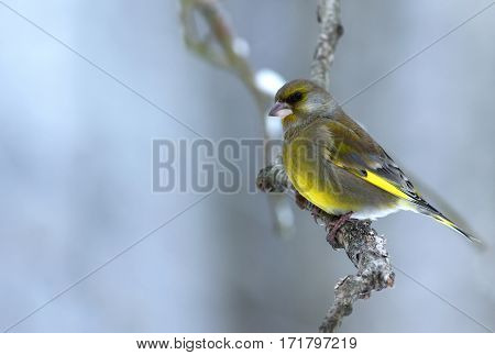 Greenfinch (Carduelis chloris) sitting on a branch in coldwinter morning in Poland.Horizontal view.