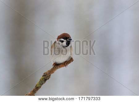 Tree sparrowtreeparusmontanusSparrow (Passer montanus) on a cold December morning sitting on a branch and looking sideways. Horizontal view. Poland.