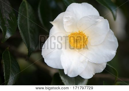 White Camellia in flower with yellow stamens. Single flower with seven regular petals with prominent display of stamens and pistils. Flowering in Bute Park Cardiff